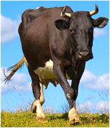 Премикс для дойных коров, прмикс для коров, добавка для коров, добавка для коз, добавка для овец, премикс для овец, премикс для коз