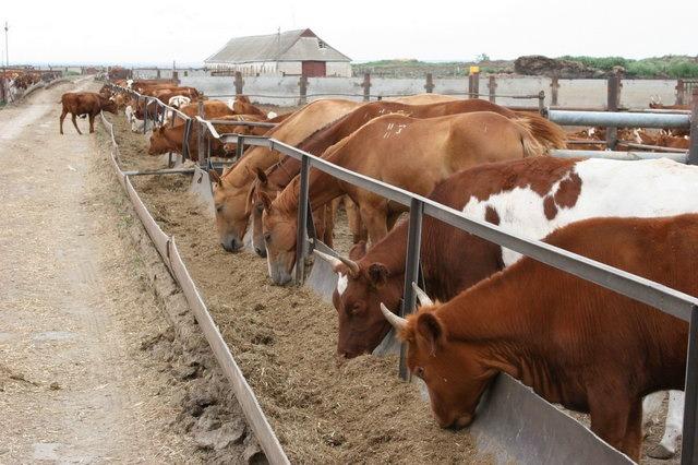 корова у кормушки